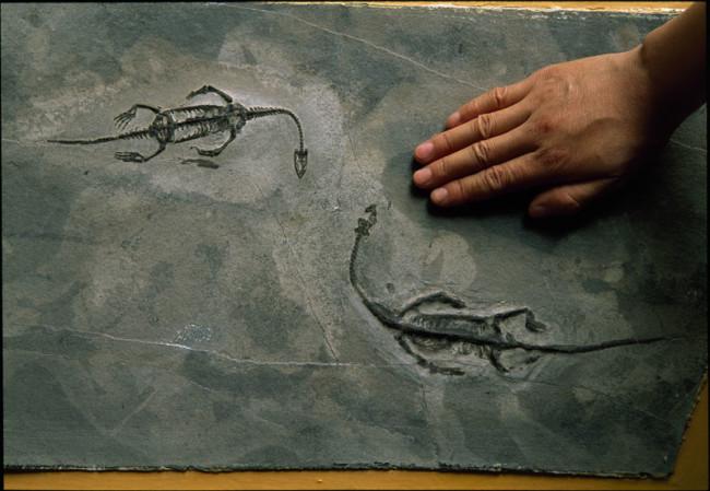 Keichousaurus hui - National Geographic Creative - DSC-C0818 05