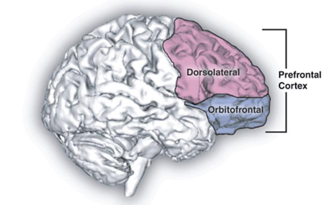 prefrontal cortex - Zahr & Sullivan