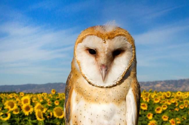 barn owl-3703