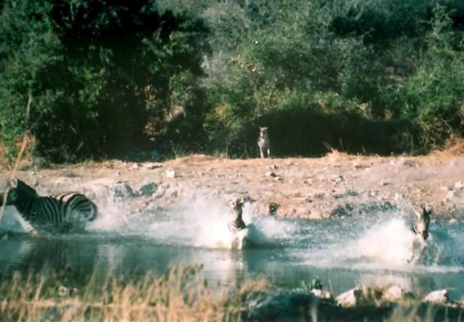 Leopard-attacks-zebra_Etosha-NP.jpg