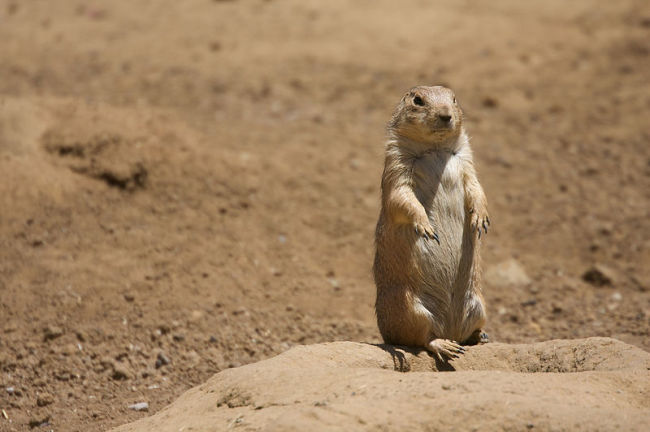 800px-Black-tailed_Prairie_Dog_standing.jpg