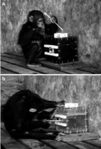 Chimp Study Figure -Horner & Whiten 2005 Animal Cognition