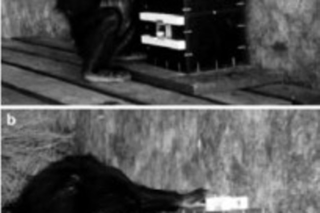 Chimpanzees skip unnecessary steps to get a treat, whereas human children will repeat every step adults showed them (Credit: