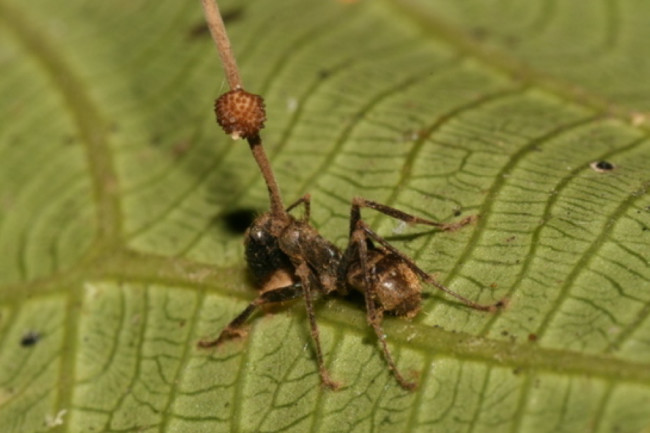 Carpenter Ant Cordyceps Fungus - Wikimedia Commons