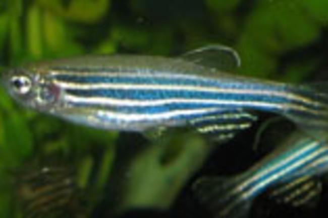 zebrafish220.jpg