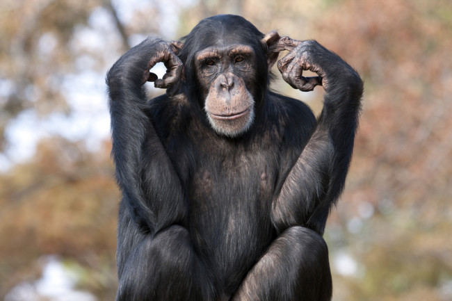 Chimpanzees Sway, Clap Their Hands When They Hear Music | Discover ...