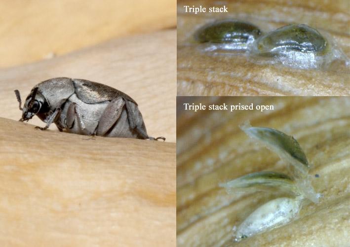 Seed_beetle.jpg