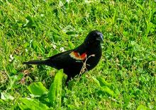red-winged-black.jpg