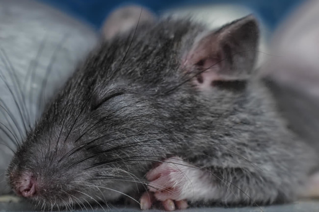 Rats Dream About the Places They Want to Explore