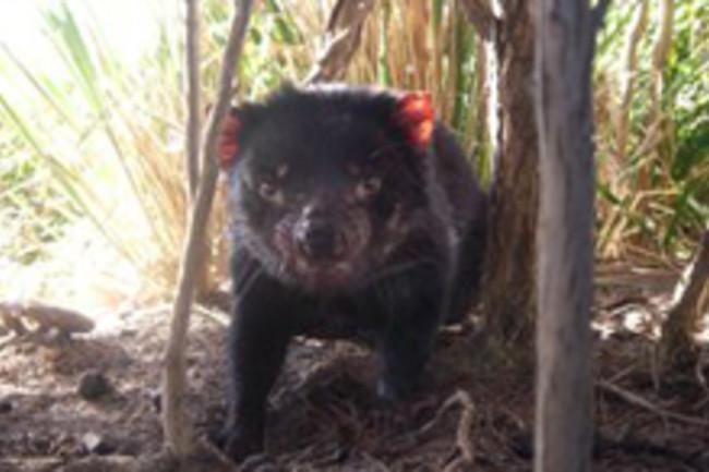 tasmanian-devil-2.jpg