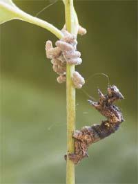 Caterpillarwasps.jpg