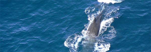 Sperm_whales.jpg