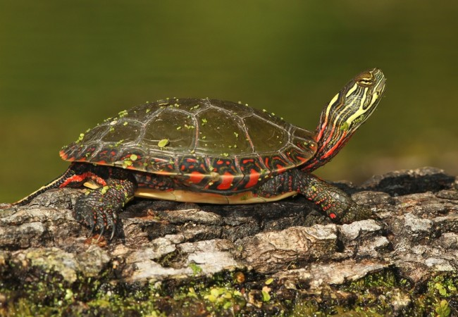 painted-turtle.jpg