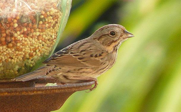Lincolns-sparrow.jpg