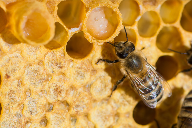 royal jelly beehive