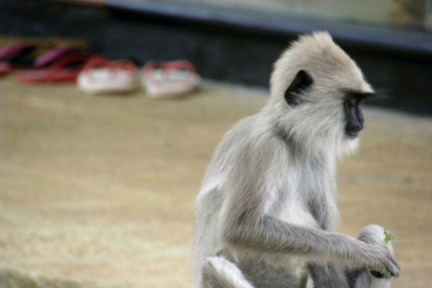 Langur_shoes1.jpg