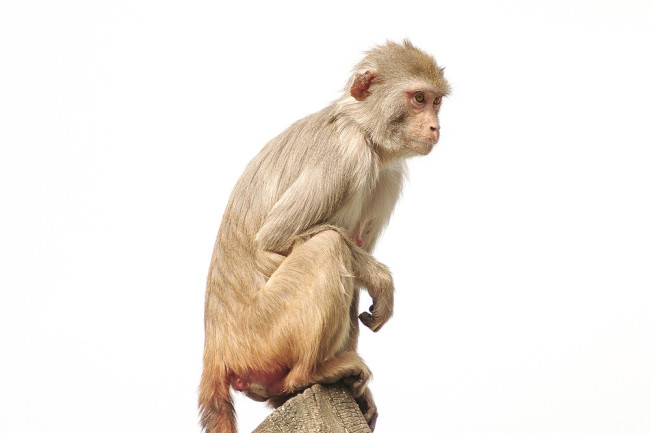 Rhesus Macaque - Shutterstock