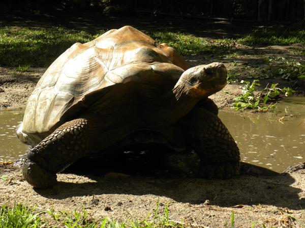 Giant_tortoise2.jpg
