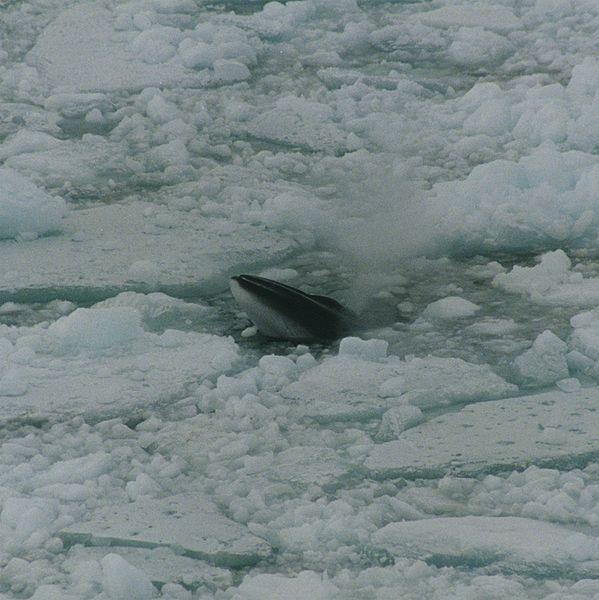 599px-Minke_whale_in_ross_sea.jpg