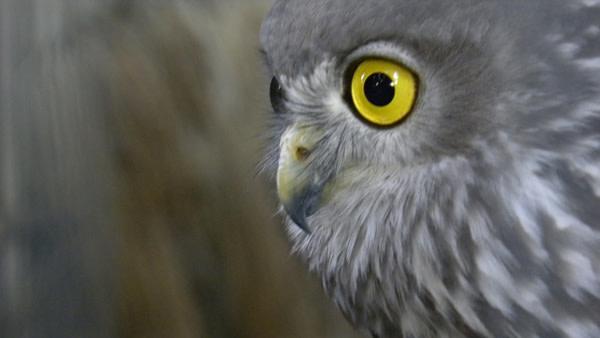 Barking_owl.jpg