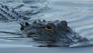 AlligatorCloseUp.jpg