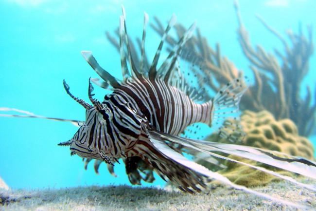 lionfish-in-Bahamas-by-Mark-Albins-OSU-e1494688546488-1024x596