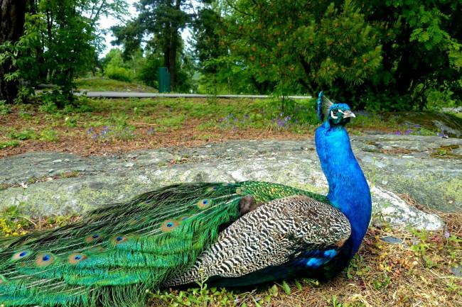 Peacock - Karin Kjernsmo