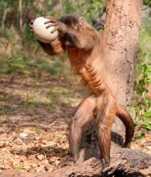 capuchin1.jpg