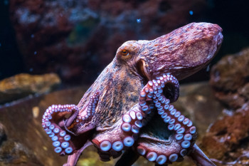 Octopus Farms Could Become a Reality. Scientists Warn This Isn't a Good Idea