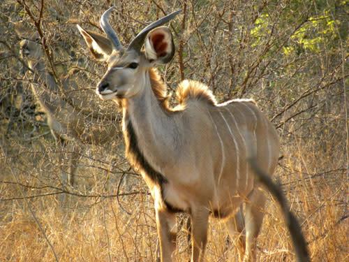 Kudu_juvenile.jpg