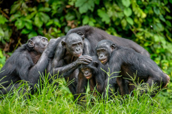 Pushy Bonobo Moms Help Their Sons Get Lucky