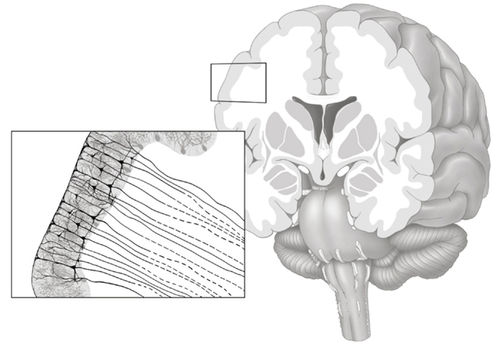 White matter in the brain contains fat-coated axons that make long-distance connections between neurons in gray matter. (Credit: Frontiers in Psychiatry)