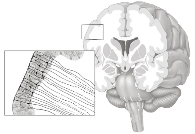 White Matter Brain - Frontiers
