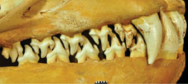 Leopard-seal-teeth.jpg