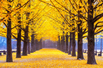 Scientists Are Probing How Ginkgo Trees Stay Youthful for Hundreds of Years