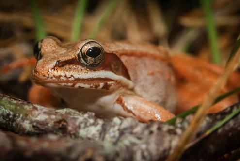 Wood-Frog_Cape-Cod-MA.jpg