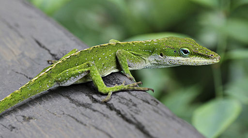 Anole_Lizard_Hilo_Hawaii_edit.jpg