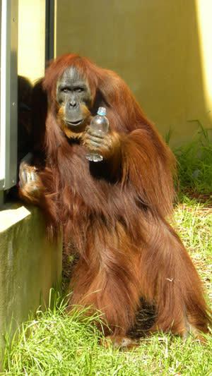 Orangutan_mooching.jpg
