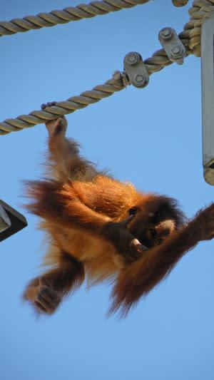 Orangutan_baby_thinking.jpg