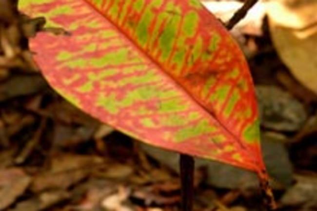 amazon-leaf.jpg