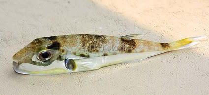 lagocephalus_sceleratus-425x194.jpg