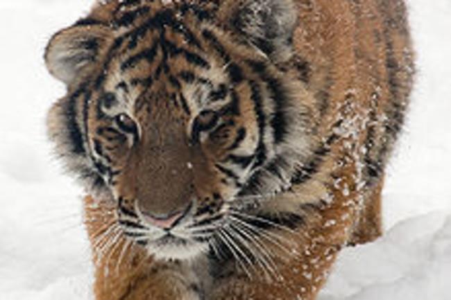 220px-Amur_Tiger_Panthera_tigris_altaica_Cub_Walking_1500px.jpg