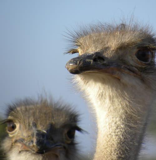 Ostrich_peekaboo.jpg
