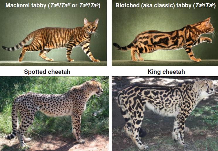 Tabby_cheetah.jpg