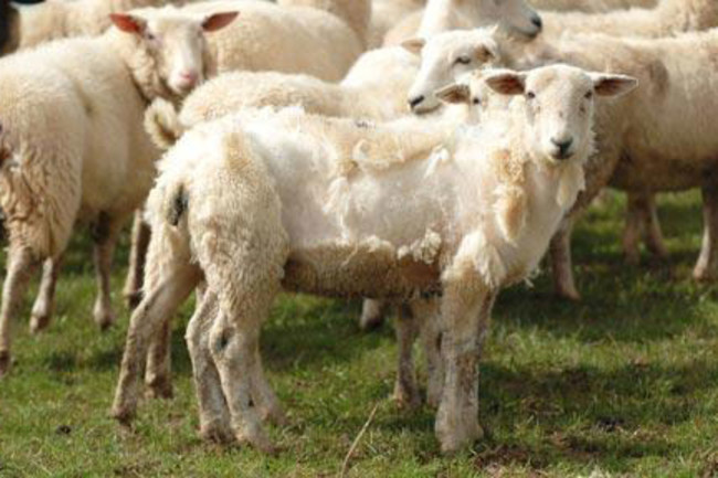 sheep_1612051c1.jpg