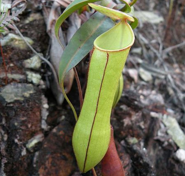 Nepenthes_gracilis.jpg