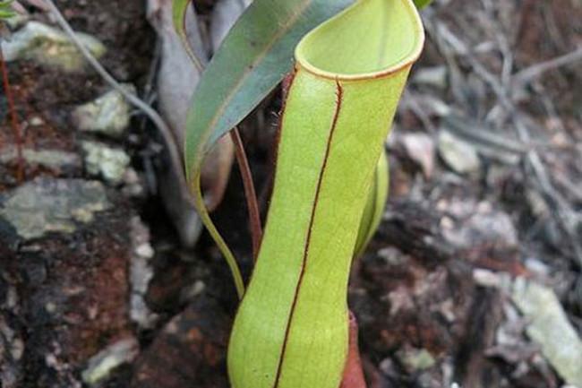 Nepenthes_gracilis.jpg