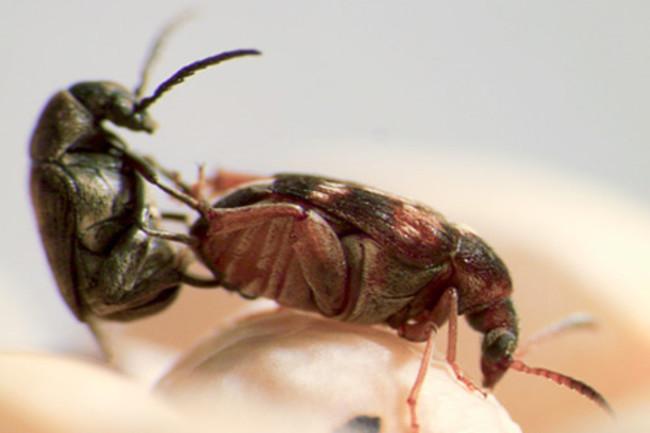 Seedbeetle