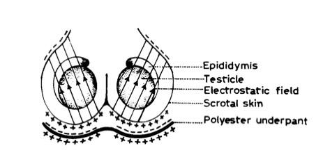 testicle.jpg