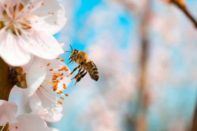 Honey Bee - Shutterstock